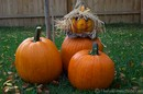 Halloween pumpkins in the backyard.