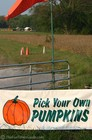 A pumpkin patch where you can pick your own pumpkins.